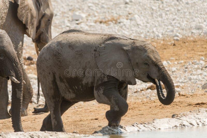 Kalb des afrikanischen Elefanten an einem waterhole lizenzfreie stockfotografie