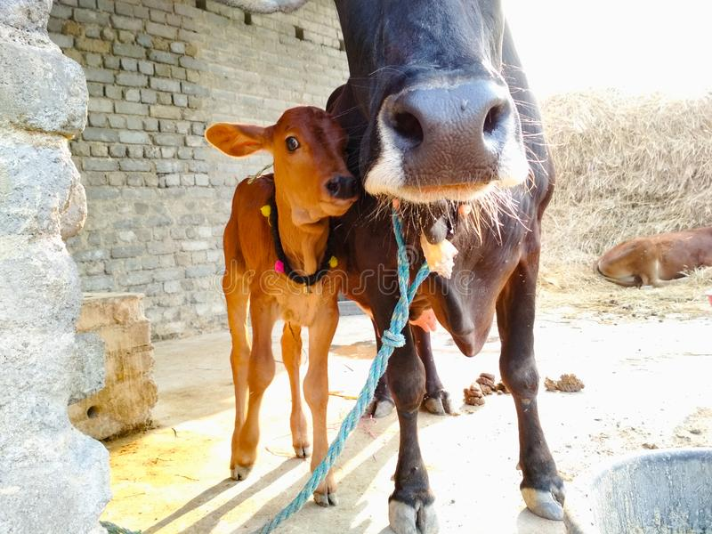 Kalb mit Mutter-Kuh lizenzfreie stockfotografie