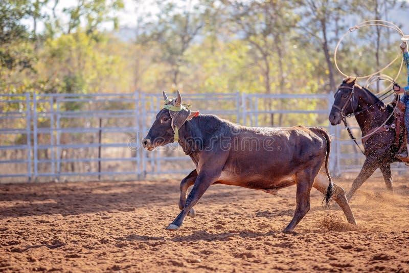 Kalb Roping an einem australischen Rodeo stockfotografie