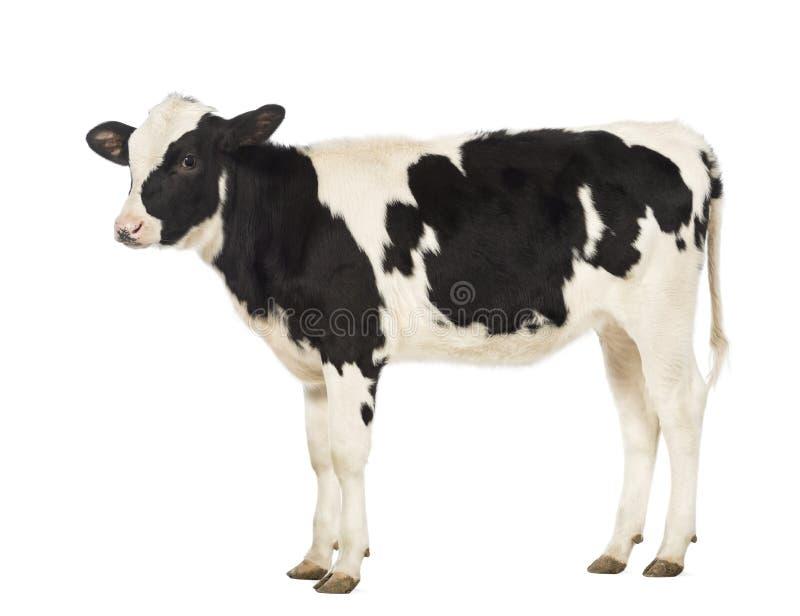Kalbfleisch, 8 Monate alte lizenzfreie stockbilder