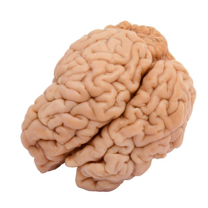 Wirkliches Gehirn stockfotografie