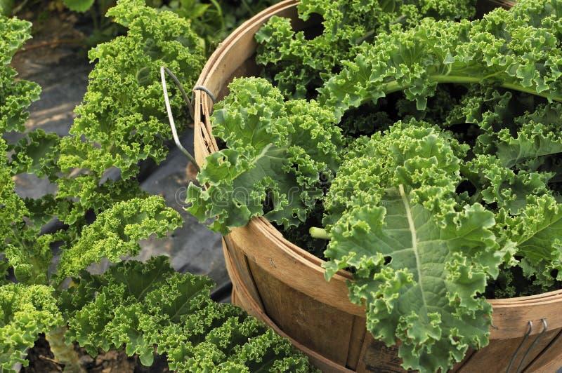 kale урожая стоковое изображение