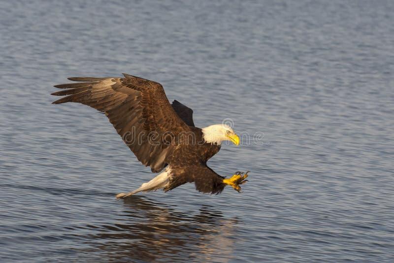 Kale adelaar die dichtbij water vliegen die vissen in Alaska voorbereidingen treffen te vangen stock afbeeldingen
