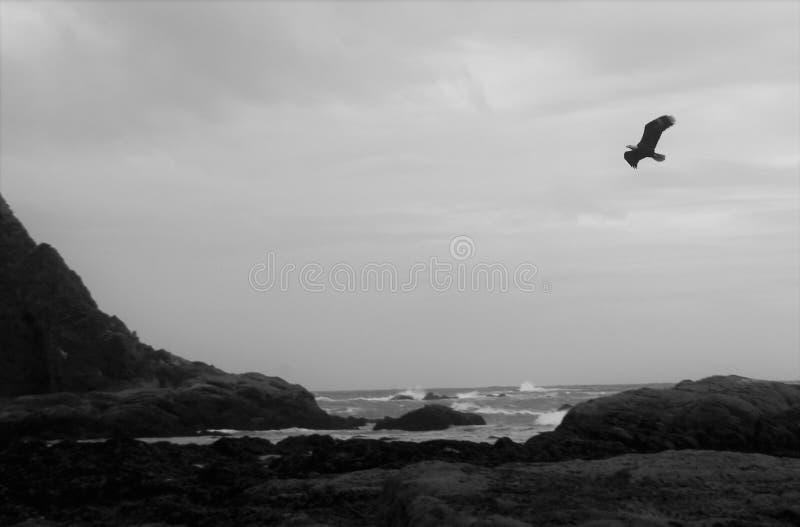 Kale adelaar in zwart-wit stock fotografie