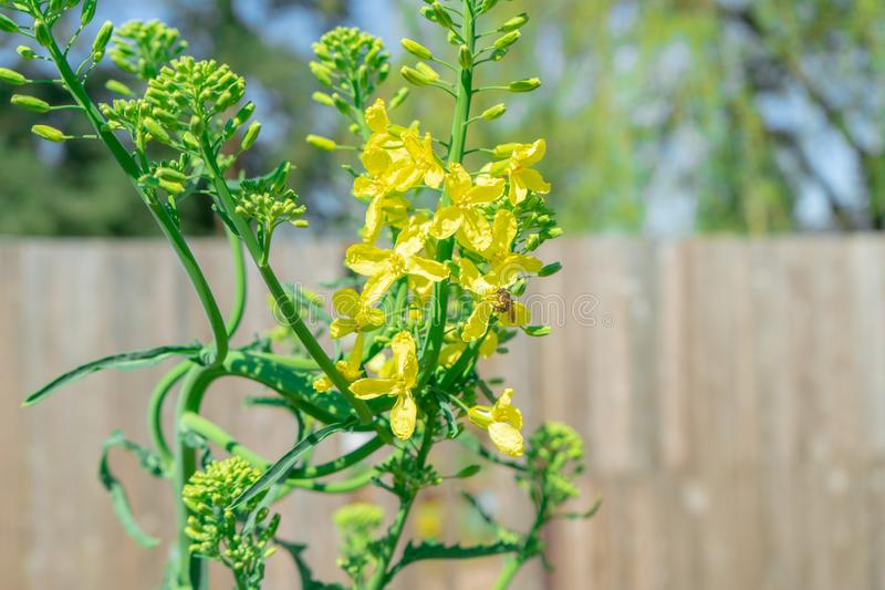 Kale biennial plant bolting i.e. going to seed in the spring. Image shows a bee pollinating the yellow kale flowers in a home. Garden, to practice seed saving stock photos