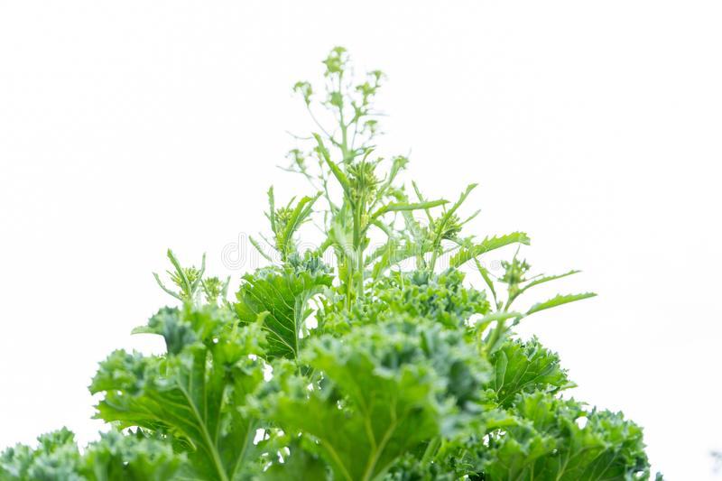 Kale vegetable plant bolting with flowers, which are about to form, on a white, isolated background, looking up. Kale biennial vegetable plant bolting with stock image
