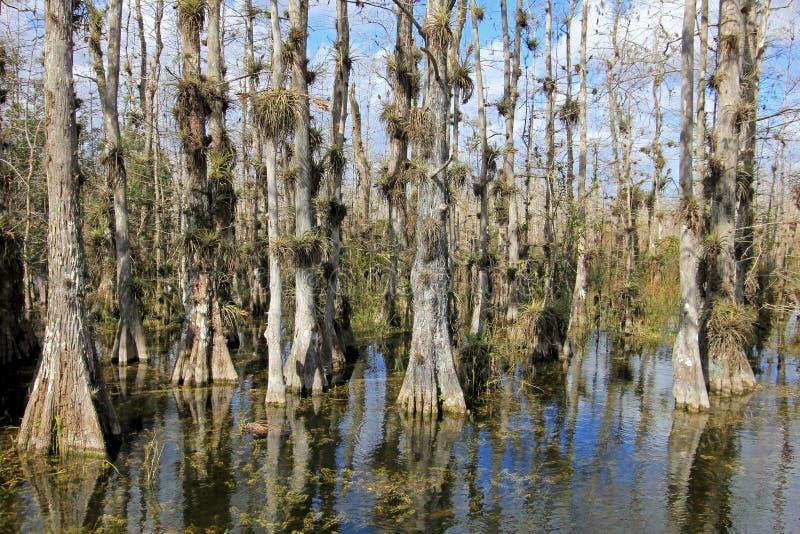 Kale Cipresbomen, Taxodium-distichum, moeras, het Nationale Park van Everglades, Florida, de V.S. royalty-vrije stock foto's