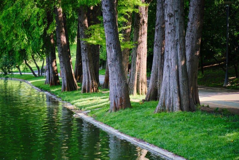 Kale de cipresbomen van Taxodiumdistichum dichtbij een meer in stedelijk park Dit zijn vergankelijke naaldboombomen in de familie stock foto