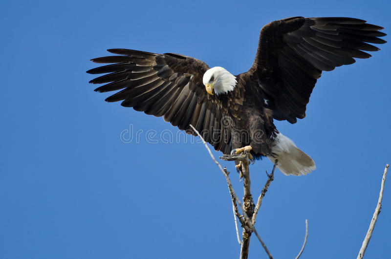 Kale Eagle Hunting From The Tree-Bovenkant stock fotografie