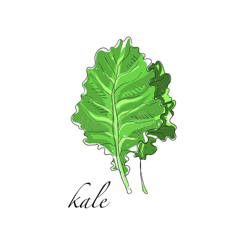 Kale fresh culinary plant, green seasoning cooking herb for soup, salad, meat and other dishes hand drawn vector. Illustrations isolated on a white background stock illustration