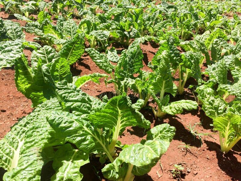 Kale growing on a farm royalty free stock photos