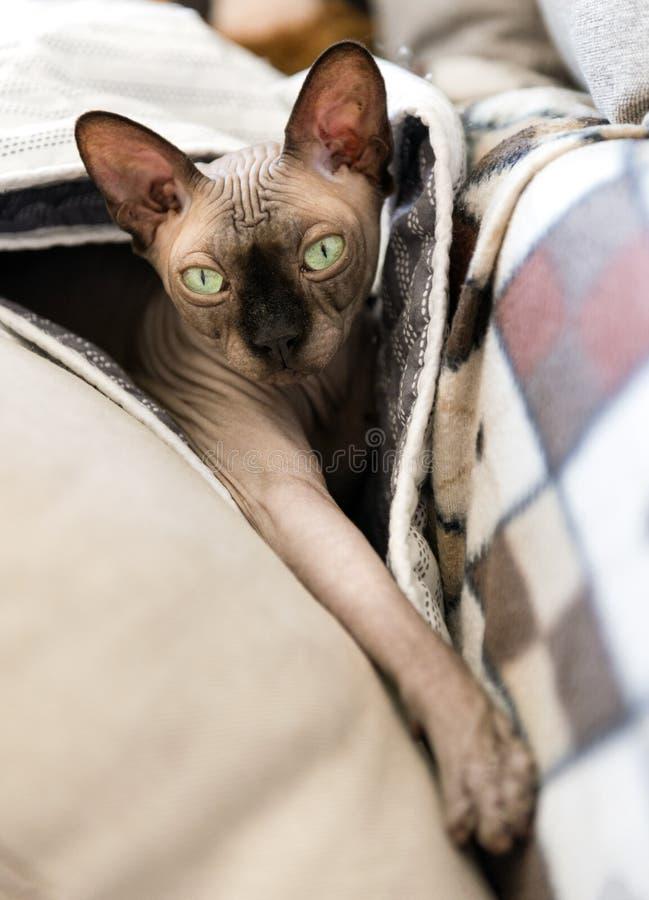 Kale kat met groene ogen die op de laag onder de hoofdkussens onder de deken, huisdier, Canadese Sfinx liggen royalty-vrije stock fotografie