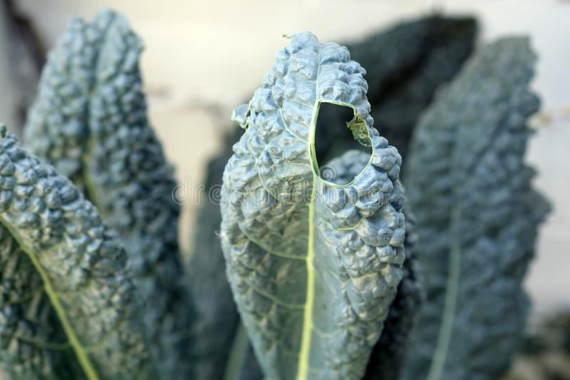 Kale leaf cabbage with a hole. Leaves on the edge are wavy, rounded, green. stock photos