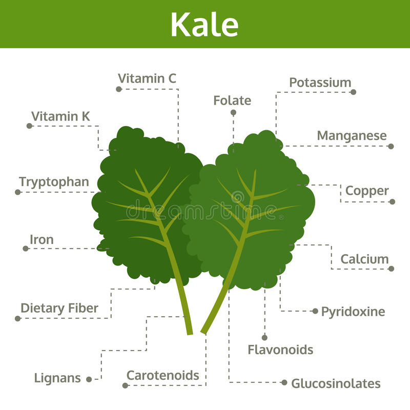 Kale nutrient of facts and health benefits, info graphic stock illustration