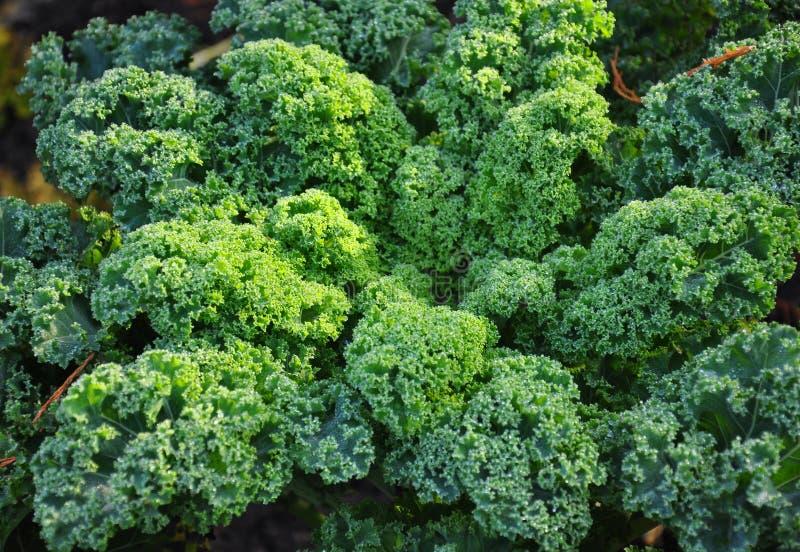 Kale plant stock image
