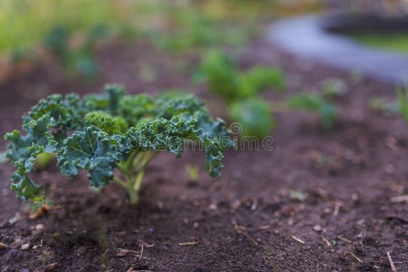Kale plant stock photo