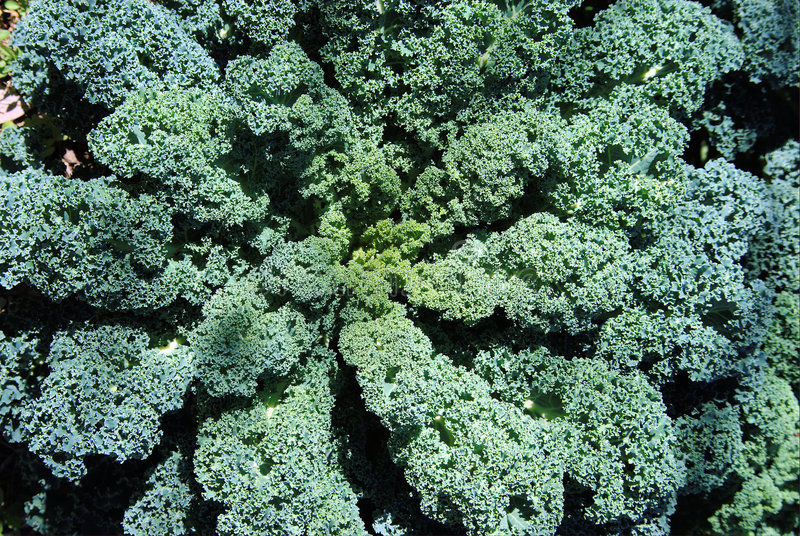 Download Kale plant and leaves stock image. Image of detail, nutritious - 8731703