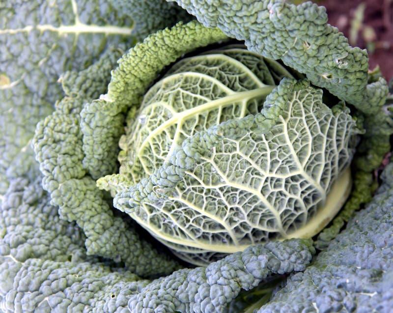 Kale - repolho de Savoy fotografia de stock