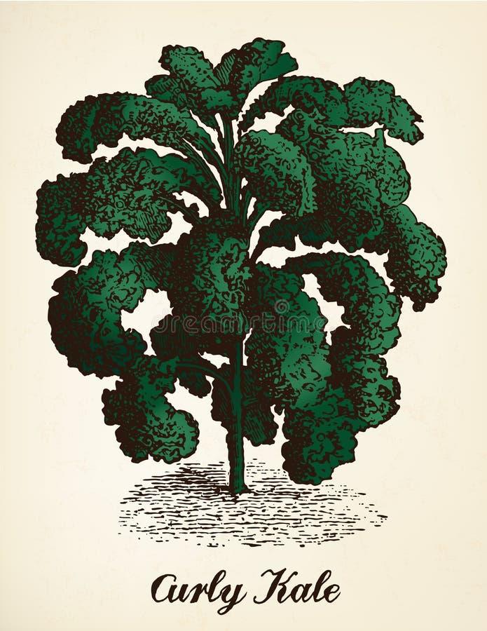 Kale rocznika ilustraci wektor ilustracja wektor