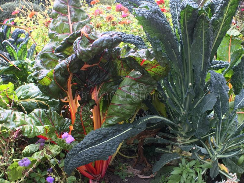 Kale and swiss chard in garden with flowers stock photo