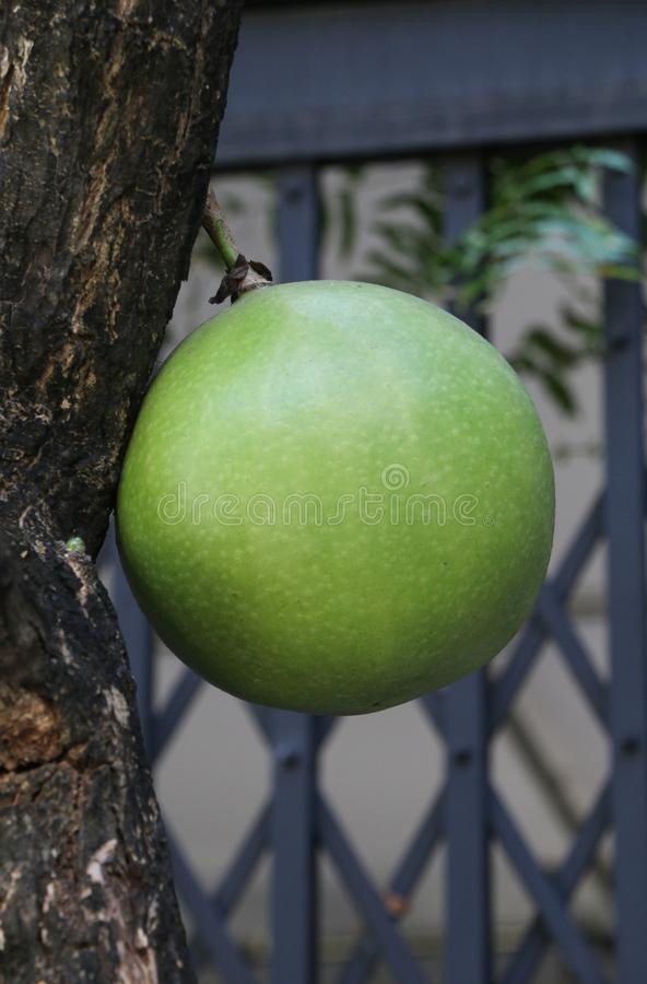 Kalebasboom in de tuin in Thailand royalty-vrije stock foto's