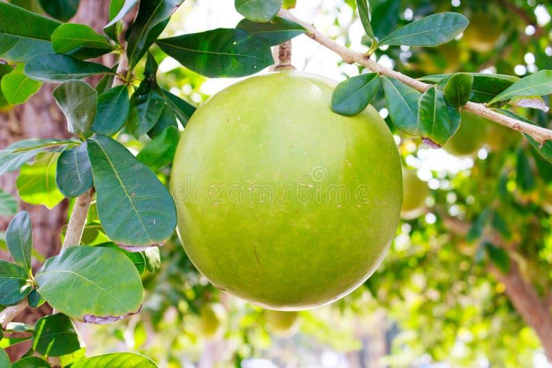 Kalebasboomboom en Fruit stock afbeeldingen