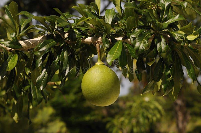 Kalebasboomfruit, crescentia cujete stock fotografie