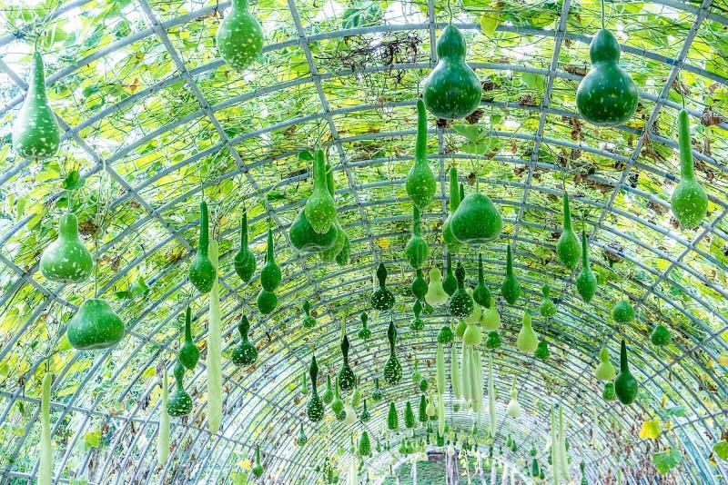 Kalebasboompompoen het hangen op metaalpergola in het park stock afbeeldingen