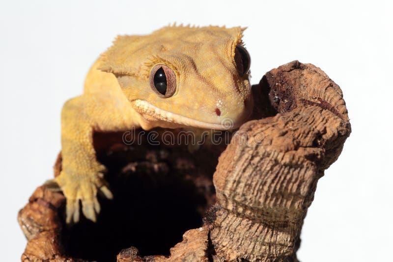 Kaledonischer Gecko mit Haube auf weißem Hintergrund lizenzfreie stockfotografie