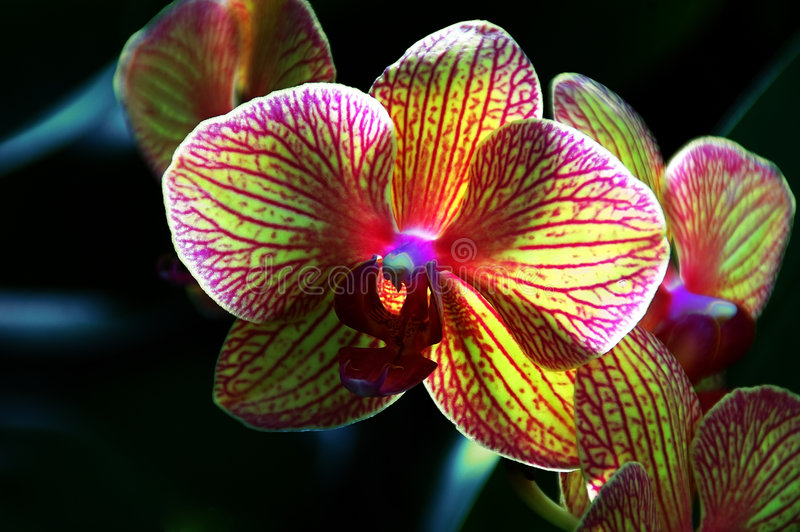 Kaleidoscope Orchid. Stunningly backlit Orchid (phalaenopsis baldan's kaleidoscope) macro royalty free stock photography