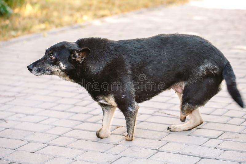 Kaleki pies bez trzy nóg kłama na drodze zdjęcia royalty free