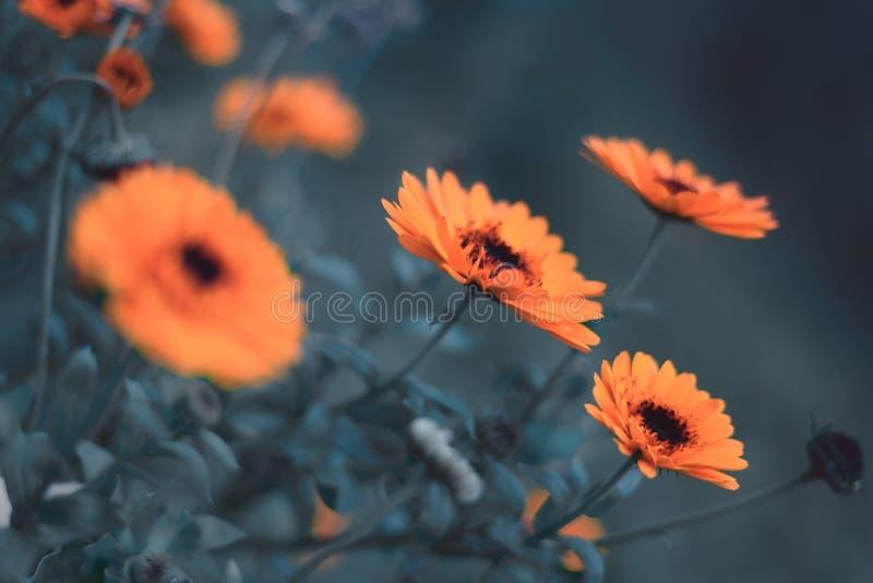 Kalendula Kwiat Marigold, niebieski zdjęcia stock