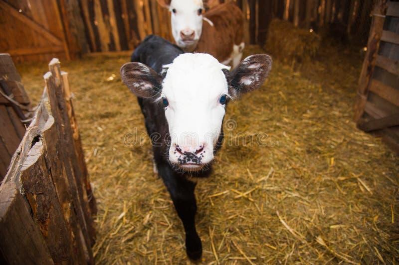 Kalf in de koeiestal stock afbeelding
