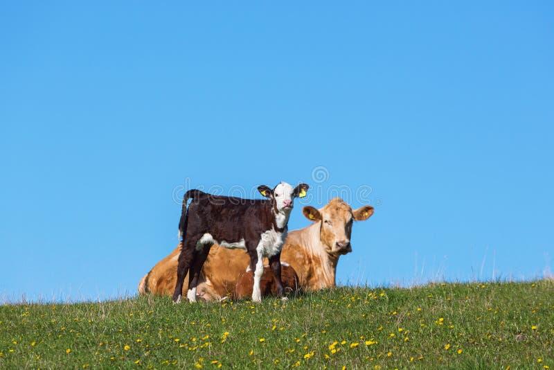 Kalf en koe op een weide stock fotografie