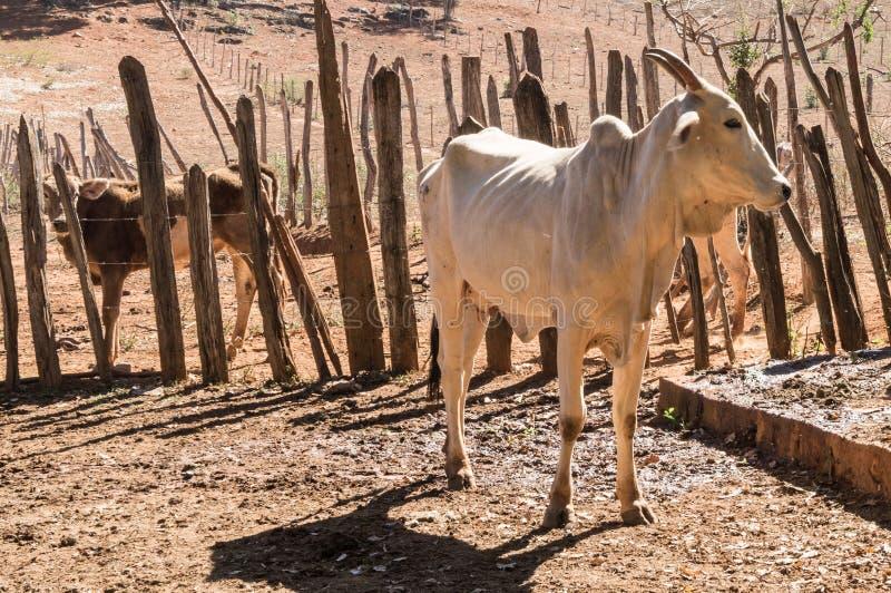 Kalf van een vee in droog landbouwbedrijf stock foto's