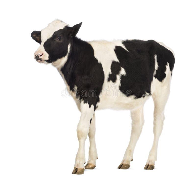 Kalfsvlees, 8 maanden oud royalty-vrije stock afbeelding