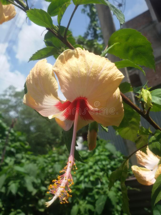 Kali цветка joba стоковые изображения