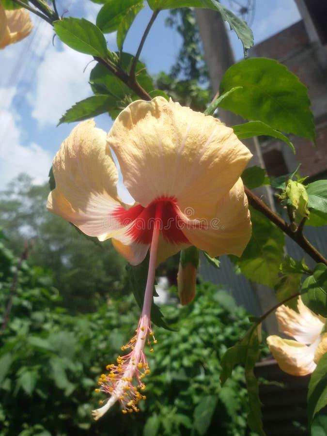 Kali de la flor del joba imagenes de archivo