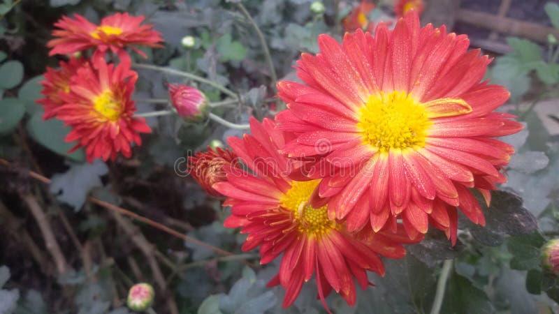 Kali do mollika do chanda de Dalia da flor do joba fotografia de stock