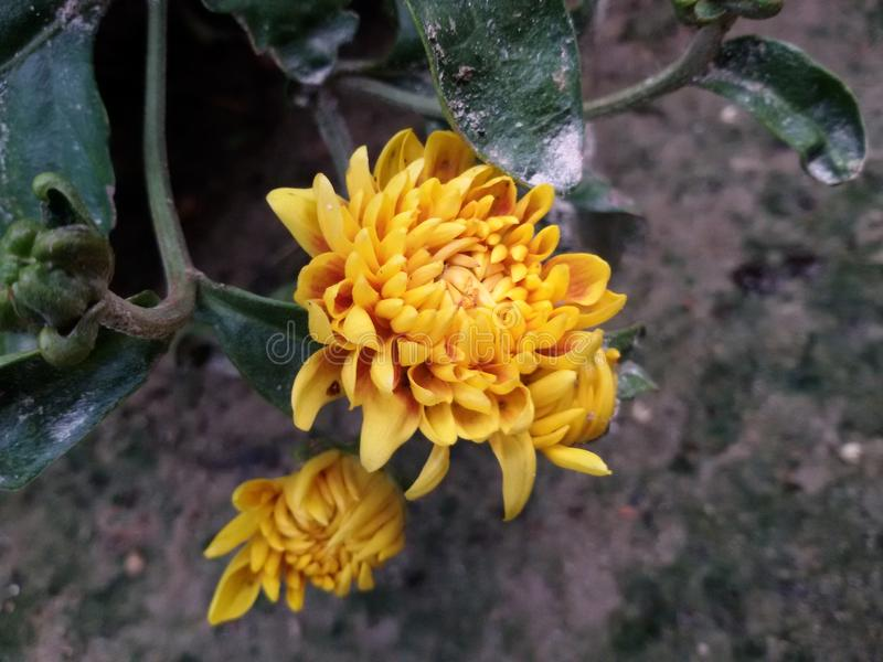 Kali of joba flower dalia stock image