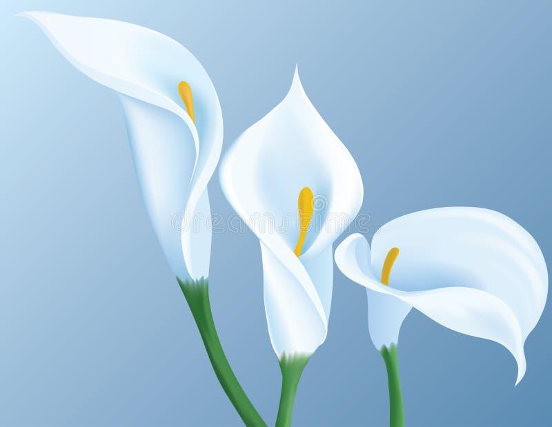 kalia kwiaty ilustracja wektor