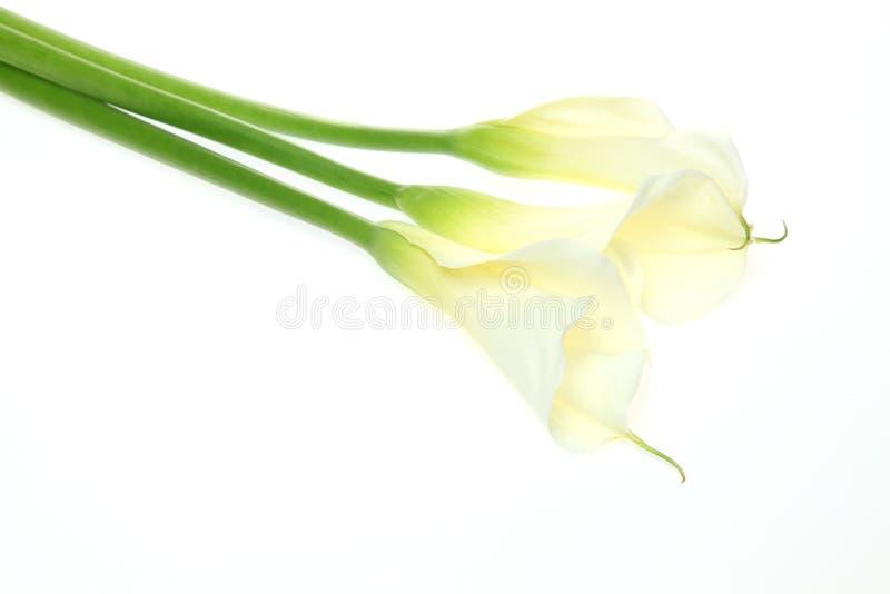Kalia w białym tle zdjęcia royalty free