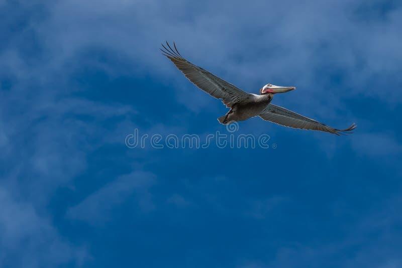 Kalifornia brązowić pelikana latanie z wispy chmurami na niebieskim niebie obraz royalty free