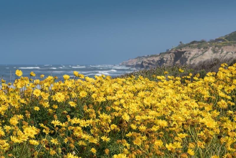 Kalifornia Brittlebush Wzdłuż Kalifornia ` s Niewygładzonego wybrzeża zdjęcia stock