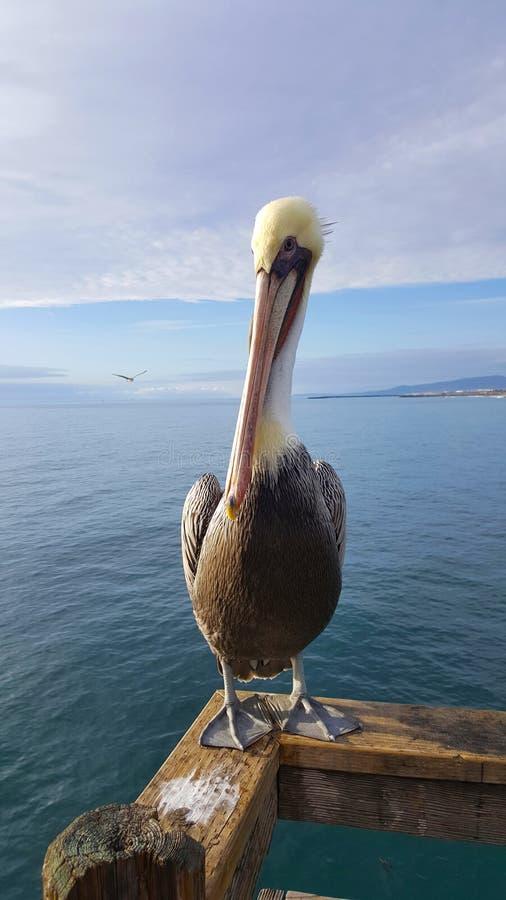 Kalifornia Brown pelikan w lota Pelecanus occidentalis zdjęcie stock