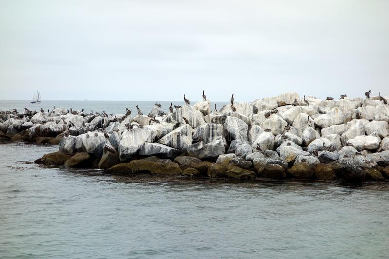 Kalifornia Brown pelikany przy Breakewater obraz stock