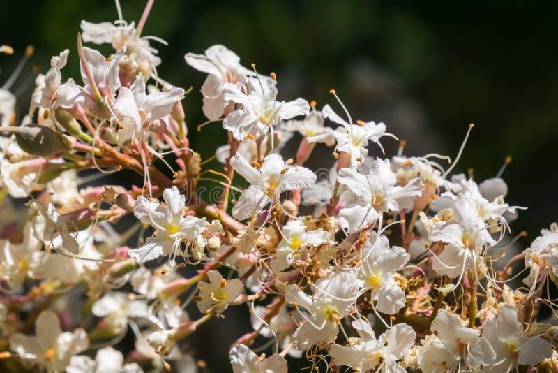 Kalifornia buckeye kwitnie Aesculus californica obrazy stock