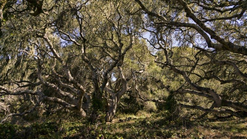 Kalifornia Dębowi drzewa zdjęcia royalty free