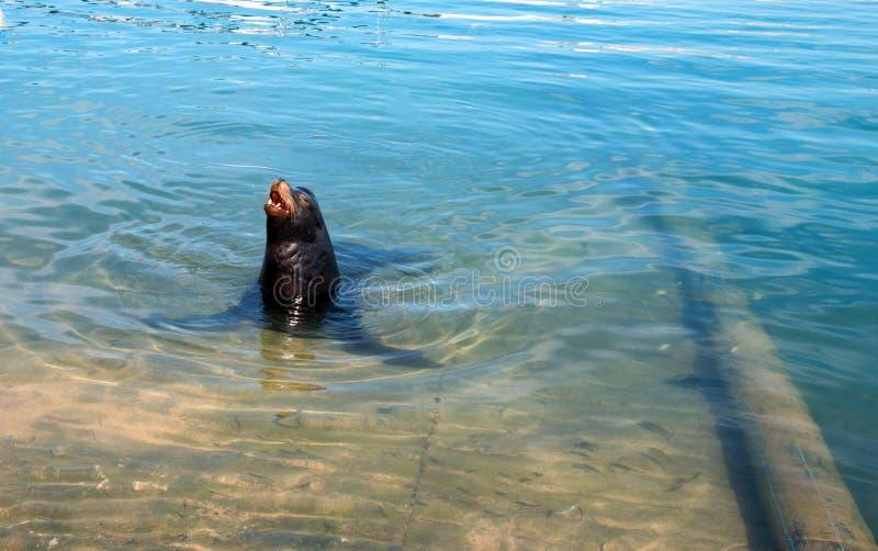 Kalifornia Dennego lwa ` szczekliwy ` w marina w Cabo San Lucas Baj Meksyk fotografia royalty free