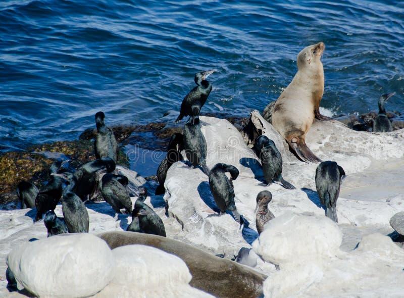 Kalifornia denny lew w firmie Brandt kormorany fotografia royalty free
